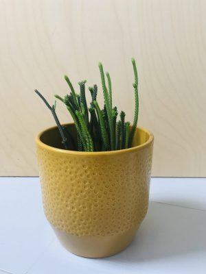 Crassula Harmony in Green / Crassula muscosa lycopodioides