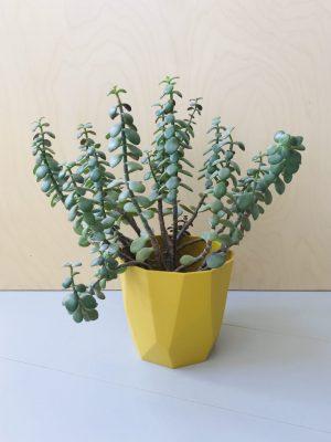 Crassula Ovata (Jadeplant)