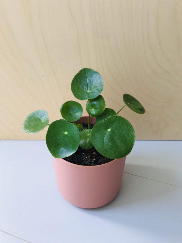 Pilea peperomoides (Pannenkoekplant)