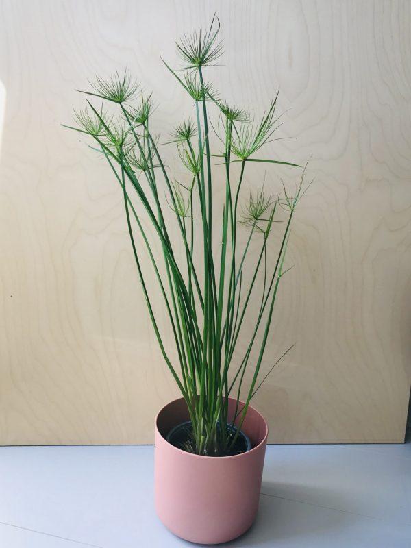 Cyperus Haspan (parapluplant)