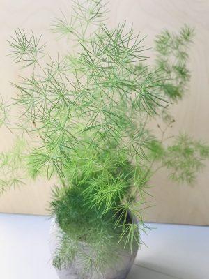 Asparagus myriocladus (Sierasperge)