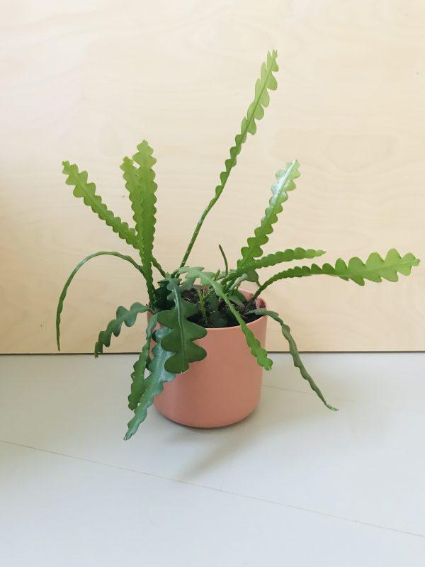 Epiphylum anguliger (Zaagcactus)