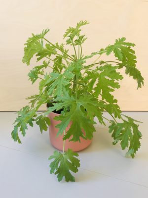 Pelargonium graveolens (citroengeranium)