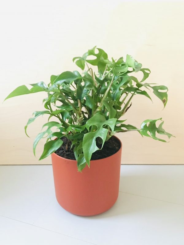 Monstera - Philodendron Trophy