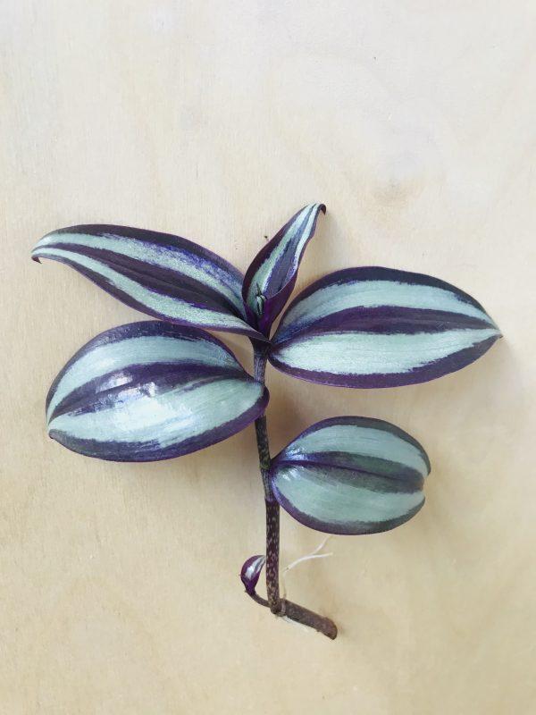 Tradescantia zebrina 'Silver Plus' (vaderplant)