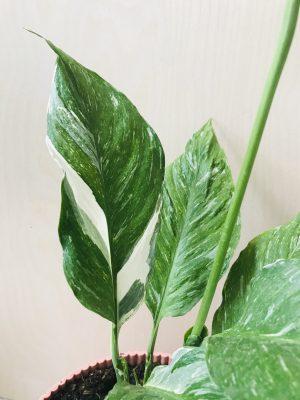 Spathiphyllum Diamond Variegata (Lepelplant)
