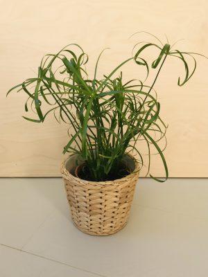 Cyperus Alternifolius (parapluplant)