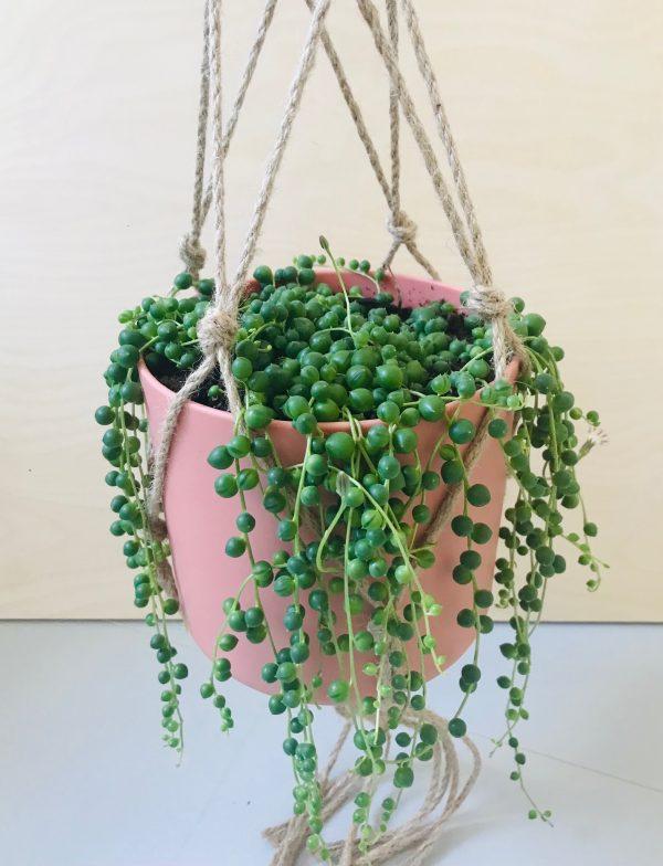 Senecio Rowleyanus (erwtenplant)