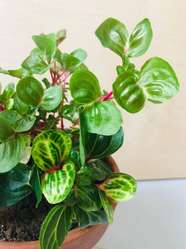 Iresine herbstii 'Aureoreticulata' (biefstukplant)